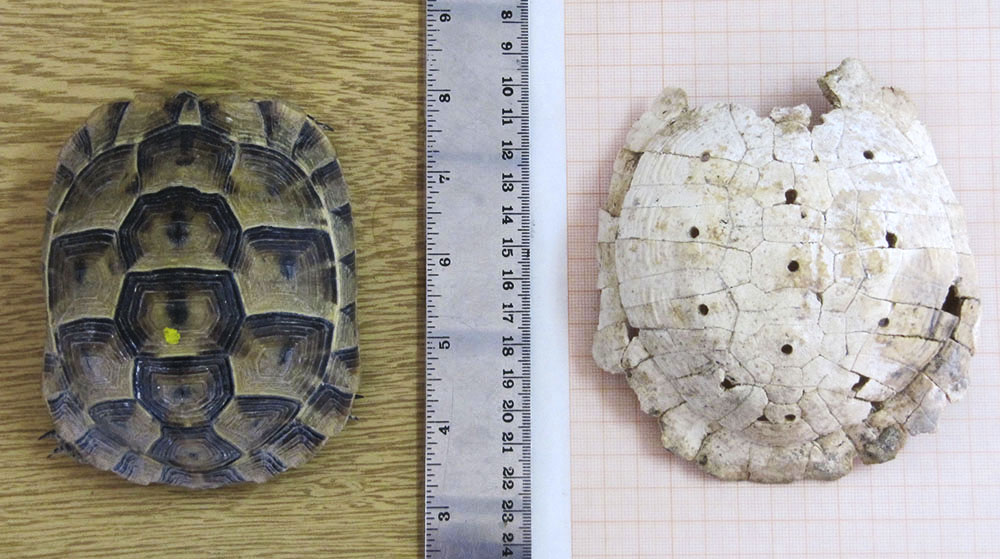 Fig. 1. A live tortoise (T. graeca) juxtaposed next to Carapace 1.