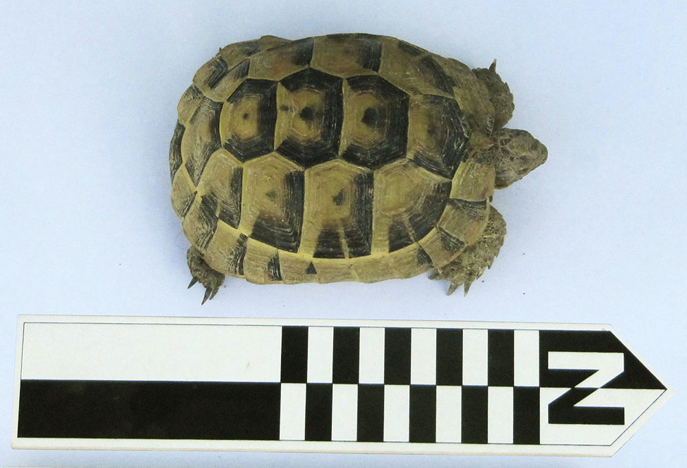 Fig. 3. A modern tortoise (T. graeca), comparable in size to Carapaces 1 and 2, spotted on the Northeast Ridge at Gordion.